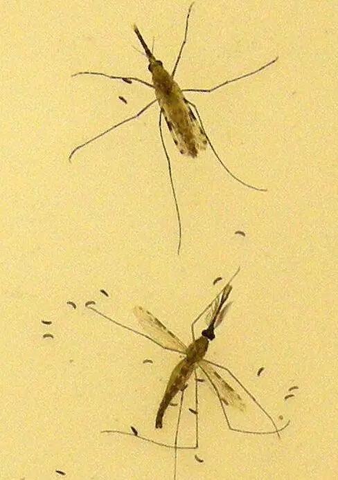 牛津大学生物学家用 AI 帮助分析蚊子种类和有效控制疟疾传播