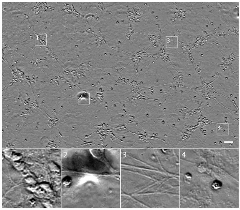 谷歌《Cell》论文:使用深度学习,直接对细胞影像生成荧光标记