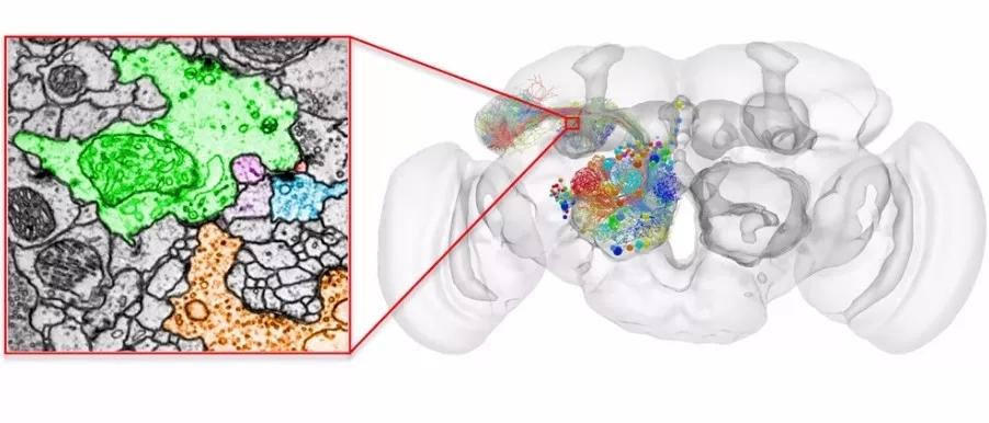 全景呈现大脑三维结构!谷歌提出自动化重建方法加速脑科学研究步伐